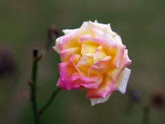 Designer Rose (bamboosage) Tags: mayiasekor 17 ƒ58mm m42 coth coth5