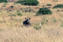 Rhino (Prashanth S) Tags: nairobi africa africansafari animals wildlife wild park safari safariphotography travel travelsafari