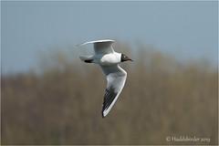 Black headed Gull (Huddsbirder) Tags: huddsbirder blackheadedgull oldmoor fe70300mm sony a6500