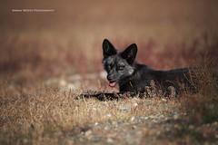 Cute Fox (ArmanWerthPhotography) Tags: armanwerthphotography fox redfox young kit wildlife sanjuanisland washington washingtonstate