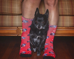 Sock it to Me 52/52 (Boered) Tags: chico darla dog socks pupsocks legs challenge 52weeksfordogs me