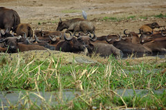 Nile Crocodile (pbr42) Tags: africa uganda queenelizabethnationalpark nationalpark hdr water lake crater animal buffalo nilecrocodile crocodile reptile nature
