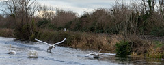 FIGHTING SWANS [ ROYAL CANAL BETWEEN BROOMBRIDGE AND ASHTOWN]-148324 (infomatique) Tags: birds swans fight wildlife nature water canal royalcanal canalwalk sony a7riii batis zeiss 135mmlens williammurphy infomatique fotonique ireland