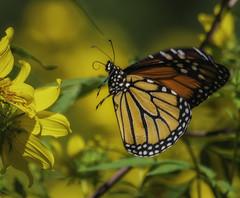 MonarchButterfly_SAF6597-2 (sara97) Tags: danausplexippus butterfly copyright©2018saraannefinke endangered insect missouri monarch monarchbutterfly nature photobysaraannefinke pollinator saintlouis towergrovepark inflight