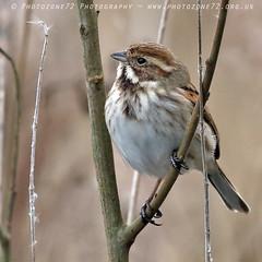 9780 Reed Bunting (photozone72) Tags: amwell birds bird nature wildlife canon canon7dmk2 canon100400f4556lii 7dmk2 reedbunting