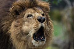 Lion roaring / Lion rugissant (Adrien Farese) Tags: zoo amnéville animals animaux nikon téléobjectif 200500 mm