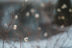 Snowberries (bluishgreen12) Tags: nature berries winter snowberries vintageprime vintagelens bokeh pentacon50mmf18