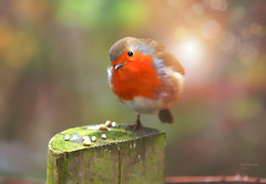 Busy Mornings... (KissThePixel) Tags: robin robinredbreast redrobin mrrobin wildlifephotography wildlife morning sunlight light sunshine february longacremanor bird birdwatching britishbird bokeh bokehlicious nature naturephotography garden nikon beautiful macro makro closeup sigma 28 70200mm