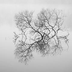 De nature abstraite *-*--+----° (Titole) Tags: branches reflection squareformat blackandwhite bw noiretblanc nb titole nicolefaton fog 15challengeswinner friendlychallenges challengegamewinner