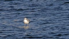 Surfin' (Franz Airiman) Tags: stockholm sweden scandinavia bird fågel animal djur europeanherringgull gråtrut ladugårdslandsviken is ice isflak icefloe ladugårdslandbay surf surfing surfande