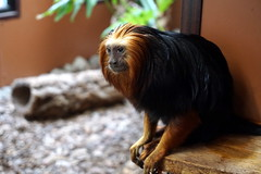 Golden-Headed Lion Tamarin - Leontopithecus chrysomelas (emilyphillips10) Tags: leontopithecuschrysomelas goldenheadedliontamarin tamarin primate mammal wildlife paradisewildlifepark callitrichidae monkey newworldmonkey
