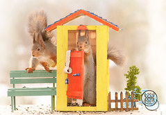 Red squirrels standing in and aside a outhouse (Geert Weggen) Tags: squirrel red animal backgrounds bright cheerful close color concepts conservation culinary cute damage day earth environment environmental equipment love photo model toilet greattit toiletpaper wc outhouse bicycle bispgården jämtland sweden geert weggen hardeko ragunda