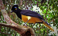 Bird in Iguazu in Tree Yellow (Alexander H.M. Cascone [insta @cascones]) Tags: south america southamerica argentina latinoamerica latin misiones iguazu cataratas de foz do parana junglo jungle cascada selva forest nature natural flora trees fauna animal bird flyer colorful blue yellow eyes beady branch beak birding ornithology ave pajaro