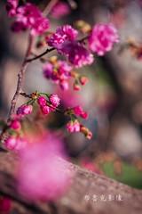 D68_4005 (brook1979) Tags: 台灣 台中 泰安 警察局 櫻花 春天 花季 粉 紫 taiwan taichung flower sakura 八重櫻