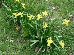 March 9th, 2019 Daffodils (karenblakeman) Tags: christchurchmeadow caversham uk daffodils flowers grass 2019 2019pad march reading berkshire