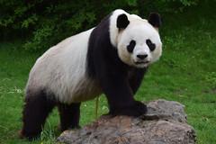 Yuan Zi @ Zoo de Beauval 14-05-2018 (Maxime de Boer (2)) Tags: yuan zi giant panda reuzenpanda zoo parc de beauval saintaignan france animals dieren dierentuin gods creation schepping