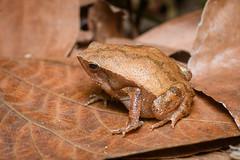 Kalophrynus interlineatus, Striped sticky frog - Khao Khitchakut District (Rushen!) Tags: kalophrynus kalophrynusinterlineatus khaokhitchakutdistrict stripedstickyfrog amphibia frog thailand rushenbilgin