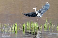 Héron cendré - 6652 (Luc TORRES) Tags: echassier faune héroncendré hérons nature oiseaux france hautesavoie ardeacinerea greyheron