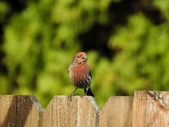 House Finch (Male) (dinannee) Tags: