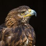 Golden Eagle Portrait thumbnail