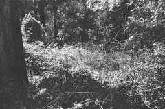Black-and-white plants (Matthew Paul Argall) Tags: spartus35fmodel400 35mmfilm kentmerepan100 100isofilm blackandwhite blackandwhitefilm plant plants 50mmlens