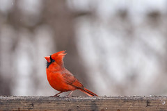 little red (jimmy_racoon) Tags: canon 400mm f56l 5d mk2 northern cardinal birds prime red winter canon400mmf56l canon5dmk2 northerncardinal