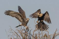 Feuding Neighbors (PeterBrannon) Tags: anhinga battle bird florida kite nature raptor rostrhamussociabilis snailkite talons wildlife birdinflight territory
