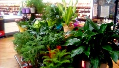 Supermarket green plants! (Maenette1) Tags: supermarket green plants jacksfreshmarket menominee uppermichigan flicker365 allthingsmichigan absolutemichigan projectmichigan