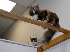 Cats at Colony Cats (Stabbur's Master) Tags: ohio columbusohio colonycats cats kitty kitten kitties