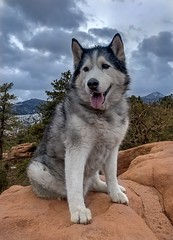 Timber (Cruzin Canines Photography) Tags: siberianhusky portrait hdr cute domesticanimal dog gardenofthegods iphonexsmax winter animals nature dogs pets snow naturallight canine animal iphone pet timber domestic mammal colorado husky outdoors coloradosprings outside
