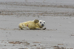 Hello, I'm a three hours old white coat and I salute you - Hello, je suis un blanchon, j'ai trois heures et je vous salue. (Giloustrat) Tags: whitecoat seal animal pentax k70 natureinfocusgroup saariysqualitypictures baiedesomme quend
