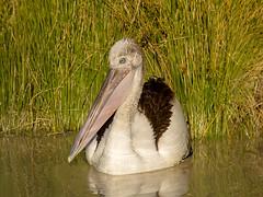 Australian Pelican (Pelecanus conspicillatus) (David Cook Wildlife Photography) Tags: australianpelican pelecanusconspicillatus birdsville queensland australia davidcookwildlifephotography kookr sonya99mkii sonyilca99m2 sonysal300f28g2 sonysal14tc ©2019davidcookwildlifephotographyallrightsreserved