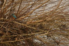 Don Blues (Derbyshire Harrier) Tags: kingfisher 2019 fiveweirswalk winter february sheffield riverdon wild alcedoatthis blue southyorkshire willow