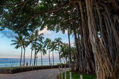 A Huge Banyan Tree / Morning in Waikiki Beach, O'ahu, Hawai'i, USA (takasphoto.com) Tags: apsc amanecer america beach dawn day daytime eeuu estadosunidos fuji fujixt1 fujixt1fujifilm fujifilm fujinon fujinonlensxf18135mmf3556rlmoiswr fujinonxf18135mmf3556rlmoiswr hawaii honolulu island lens mañana mirrorless mirrorlesscamera morning northamerica oahu oahuisland oceanea o'ahu pacific pacificocean polynesia time usa unitedstates unitedstatesofamerica waikiki waikikibeach waikīkī xmount xt1 xtranscmosii xtransii xf18135 amanhecer bìnhminh فَجْر รุ่งอรุณ アメリカ合衆国 オアフ オアフ島 ハワイ ハワイ州 フジノン フジフィルム ホノルル ホノルル市内 ミラーレス ワイキキ ワイキキビーチ 北米 夜明け 昼 朝 米国 美国 黎明 새벽 banyan banyantree tree trees
