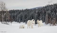 L'appel de la forêt (Kilian Sanlis) Tags: doubs franchecomté nature wild motherwood hiver winter snow neige fourgs samoyede samoyed chien dog animal canon eos 5d tamronsp2470mmf28divcusd