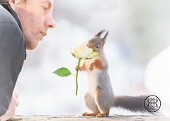 Red squirrel holding a white rose and man looks (Geert Weggen) Tags: squirrel red animal backgrounds bright cheerful close color concepts conservation culinary cute damage day earth environment environmental equipment love valentine flower winter photo bouquet model person human man rose smell white bispgården jämtland sweden geert weggen hardeko ragunda