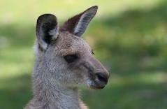 Eastern Kangaroo  (34) (F) (Richard Collier - Wildlife and Travel Photography) Tags: australia wildlife australianwildlife mammals easternkangaroo naturethroughthelens