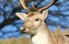 Fallow Deer 250219 (33) (F) (Richard Collier - Wildlife and Travel Photography) Tags: wildlife naturalhistory nature fallowdeer deer mammals british portraits animalportraits closeup headshots