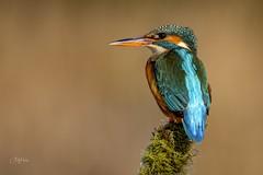 Winter Kingy (andy_harris62) Tags: kingfisher kingy nature naturephotography wildlifephotography wildlife nikkor outdoors outside nikond500