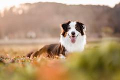 Hundefotografie - Chili (Eva Frewein - Fotografie) Tags: hundefotografie hundefotograf tierfotografie haustierfotografie australianshepherd aussie hundemodel eveningsun sundown bestlight eos6d ef85mm18usm animalphotography dogphotography hund dog
