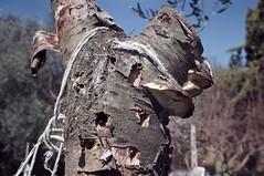 190322 (enricospinozzi) Tags: ciliegio funghi film analog enricospinozzi