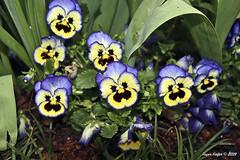 IMG_5577 (Roger Kiefer) Tags: dallas arboretum flowers outdoors beauty nature