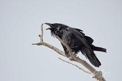Common Raven (grafxbylisa) Tags: raven commonraven corvid corvidae corvids canont2i calgary calgaryphotographer canon canadianphotographer inglewoodbirdsanctuary grafxbylisa blackbird crow sigmacontemporary sigmalens birdsofcalgary albertabirds noisybird birdsofcanada