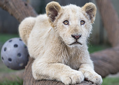 Posing next to the ball (Tambako the Jaguar) Tags: lion big wild cat white cub young baby cute posing portrait face ball trunk tree branch lionsafaripark johannesburg southafrica nikon d850