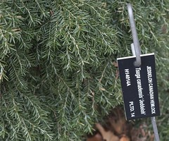 Tsuga canadensis 'Jeddeloh', 2019 photo (F. D. Richards) Tags: harpercollectionofraredwarfconifers hiddenlakegardens tiptonmi hri bedi michigan usa