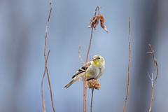 Goldfinch on Monarda-49974.jpg (Mully410 * Images) Tags: bird birds birding backyard birder birdwatching
