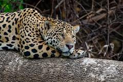 Happy New Year 2019 (fascinationwildlife) Tags: animal mammal wild wildlife feline jaguar predator resting tree log portrait brazil brasilien south america südamerika cat elusive nature natur pantanal raubkatze
