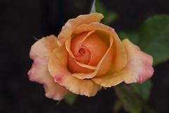 ...orange delight (Allyndon - Taking a Break) Tags: flowersarefabulous roseisarose rose smileonsaturday nikon newzealand2018 newzealand closeupflowers newzealandflowers flora flowers macro new zealand
