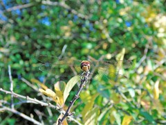 Having a Rest (️️️Sassy️️️) Tags: dragonfly insect bug wings green branch branches leaves leaf brown eyes bestphoto bestpic british beautiful bokeh britain bright blur beauty cybershot sony sonycamera photo photographer photographypassion photography photooftheday passion photos picoftheday pretty photographylover pose blue gorgeous red camera cam autumn automney national coth5 home countryside colourful colour colours outside nautraleza tree trees flikr flikrcentral garden macro