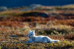 Fjellrev - Arctic fox-2.jpg (Robert Fredagsvik - Norway) Tags: norway dovre fjellrev arcticfox fox animals mountainanimals dyrnorge animalsnorway tierenorwegen norge norwegen norwegiannature canon